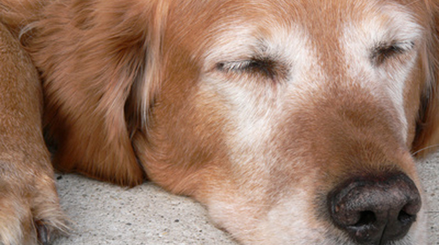 Riproduzione nel cane anziano
