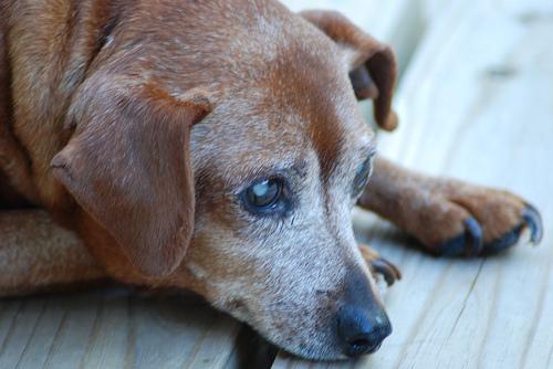 riproduzione-cane-anziano